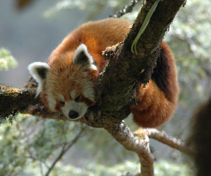 Red Panda Trek